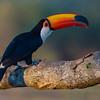 Toku Toucan, SouthWild Lodge, Pantanal - Brazil