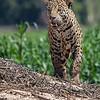 Pantanal Jaguar (Marley)