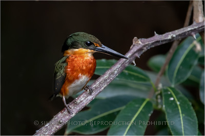 Pygmy Kingfisher