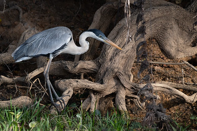 Cocoi Heron, Pantanal - Brazil