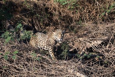 Jaguar (Nessie) - Pantanal