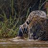Jaguar (Marley) - Pantanal - Pantanal