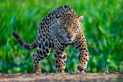 Jaguar (Marley) Pantanal