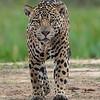 Jaguar (Marley) - Pantanal - Pantanal)
