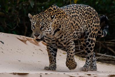 Jaguar (Patricia) - Pantanal