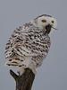 Snowy Owl -  Gatineau, CAN