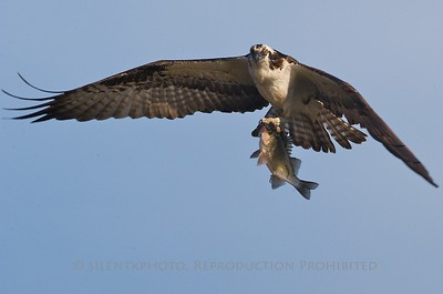 Osprey with Large Mouthed Bass - DeKorte Park, Meadowlands  2009 NJFCC Annual Fall Nature Projected Image Competition HM Award