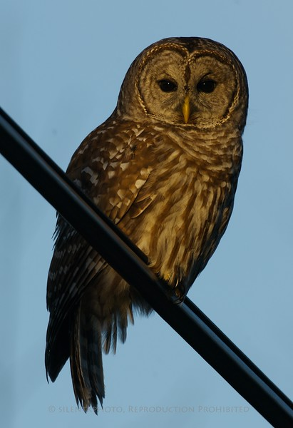 Barred Owl on a phone cable - White Bridges Road Meyersville, NJ.