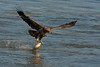 Immature Bald Eagle grabbing a Walleye - Conowingo, MD
