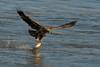 Immature Bald Eagle grabbing a Walleye - Conowingo, MD