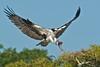 Osprey, Blue Cypress Lake, FLA<br /> D3S_4723