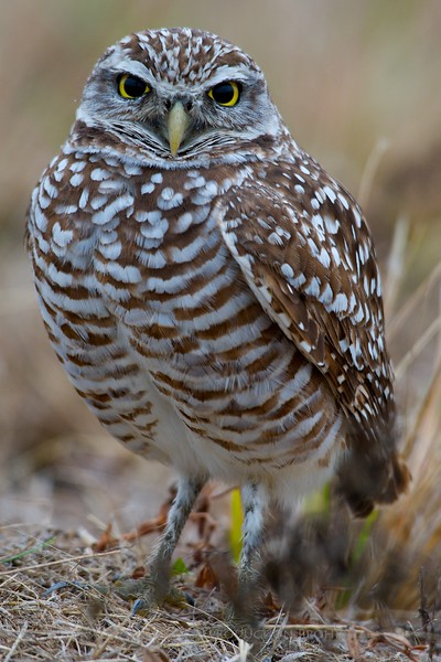 Burrowing Owl - Cape Coral, FLA
