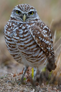 Burrowing Owl - Cape Coral, FLA