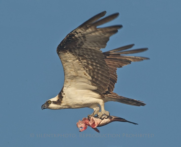 Osprey, Blue Cypress Lake, FLA<br /> D3S_3862a