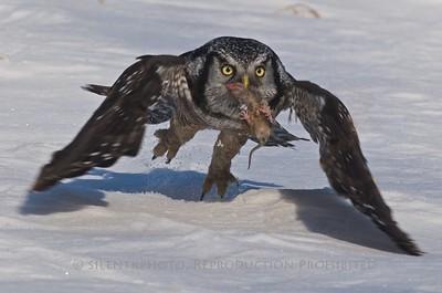 Northern Hawk Owl, Amherst Island, CN