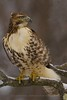 Redtail Hawk - Great Swamp NWR