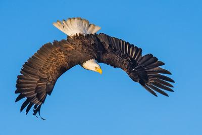 Bald Eagle, Kachemak Bay - Homer, AK
