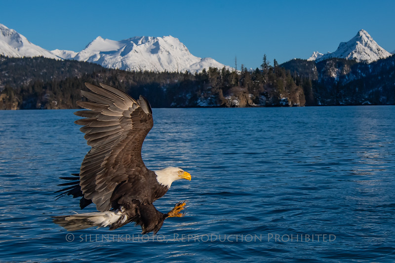 Bald Eagle, Kachemak Bay - Homer, AK