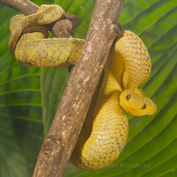 African Bush Viper - McDonald Wildlife, Reptile Shoot