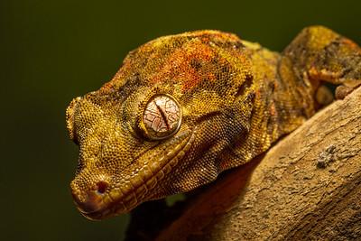 Mossy Gecko