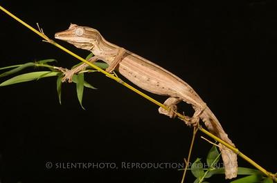 Lined Leaf-tailed Gecko