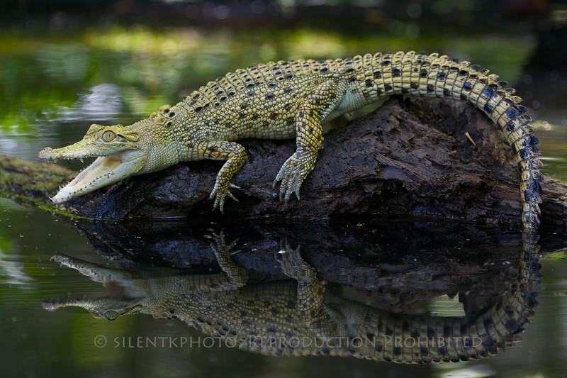 Salt Water Crocodile - McDonald Wildlife, Reptile Shoot
