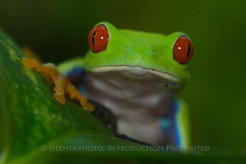 Red Eyed Tree Frog  - Basking Ridge Environmental Center, Reptile Exhibit