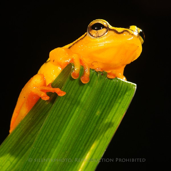 Arrowhead Reed Frog - McDonald Wildlife, Reptile Shoot