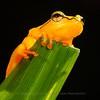 Arrowhead Reed Frog