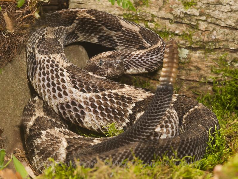 Timber Rattlesnake - McDonald Wildlife, Reptile Shoot