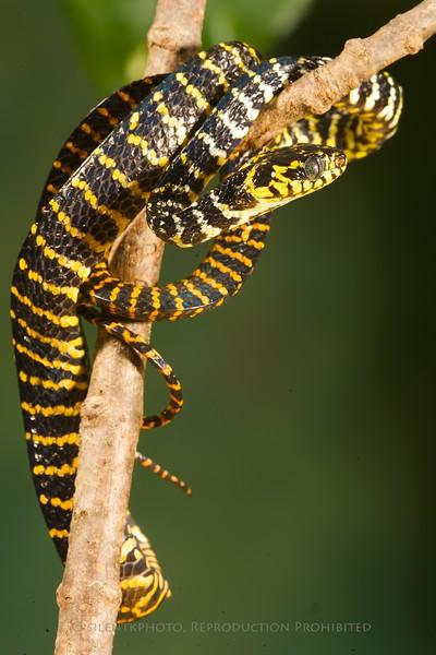 Ornate Mangrove Snake