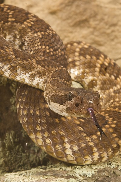 Southern Pacific Rattlesnake - McDonald Wildlife, Reptile Shoot
