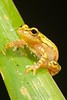 Mottled Tree Frog