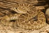 Great Basin Prairie Rattlesnake