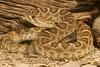 Great Basin Prairie Rattlesnake