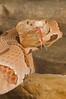 Southern Copperhead - McDonald Wildlife, Reptile Shoot
