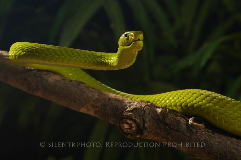 Green Mamba - McDonald Wildlife, Reptile Shoot