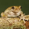 Grey Tree Frog - McDonald Wildlife, Reptile Shoot
