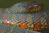 Water Snake - Great Swamp NWR