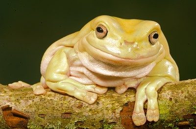 White's Tree Frog - McDonald Wildlife, Reptile Shoot