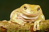 White's Tree Frog - McDonald Wildlife, Reptile Shoot