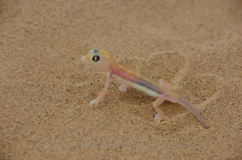 Sand Gecko - Skeleton Coast, Namibia