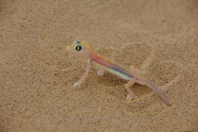 Palmato Gecko - Skeleton Coast, Namibia