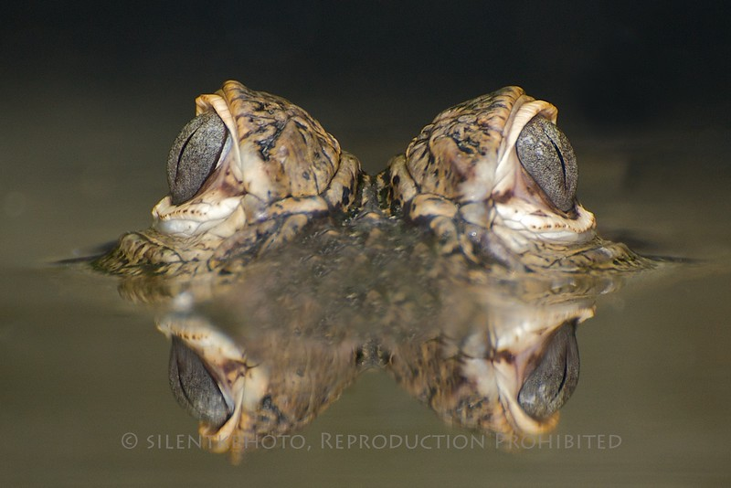 American Alligator - McDonald Wildlife, Reptile Shoot