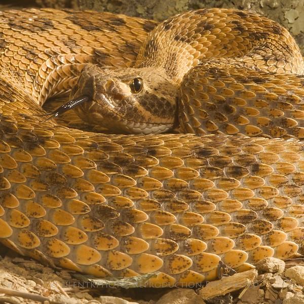 Prairie Rattlesnake -