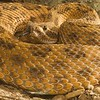 Prairie Rattlesnake - McDonald Wildlife, Reptile Shoot
