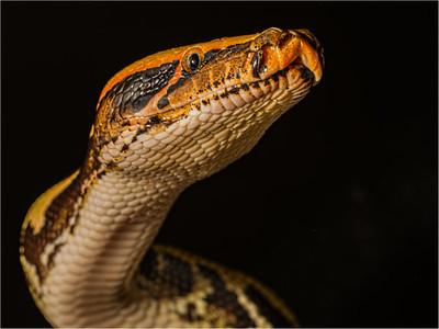 Blood Python