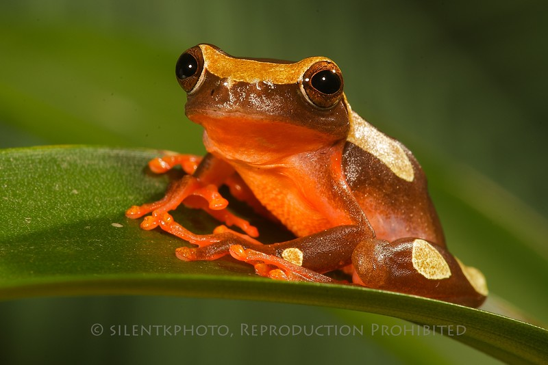 Amazon Clown Tree Frog