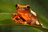 Amazon Clown Tree Frog - McDonald Wildlife, Reptile Shoot