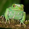 Painted Monkey Frog - McDonald Wildlife, Reptile Shoot